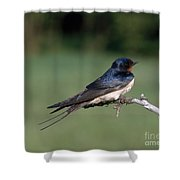 Barn Swallow Shower Curtain by Hans Reinhard
