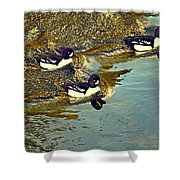 Barrow's Goldeneyes Going For The Gold Shower Curtain
