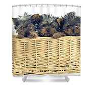 Basket Of Yorkies Shower Curtain