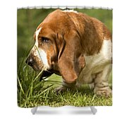 Basset Hound Sniffing Shower Curtain