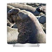 Bull Elephant Seal Battle Scars Shower Curtain