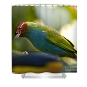 Bay-headed Tanager - Tangara Gyrola Shower Curtain