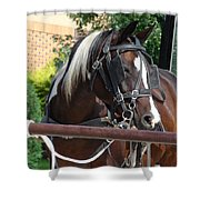 Bay Pinto Amish Buggy Horse Shower Curtain