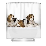 Beagle Puppies, Row Of Three, Second Shower Curtain