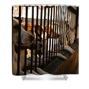 Beagles At Stowe Two Shower Curtain