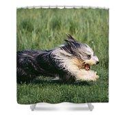 Bearded Collie Dog Shower Curtain