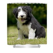 Bearded Collie Puppy Shower Curtain