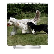 Bearded Collies Playing Shower Curtain by John Daniels