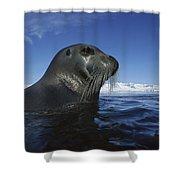 Bearded Seal Surfacing Svalbard Norway Shower Curtain