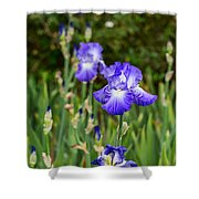 Beautiful And Colorful Iris. Shower Curtain