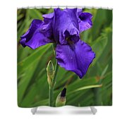 Beautiful Purple Iris Flower Art Shower Curtain