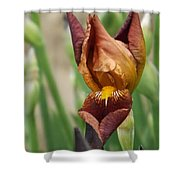 Beautiful Brown Bearded Iris Shower Curtain