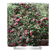 Beautiful Camellia Bush Shower Curtain