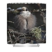 Beautiful Grey Jay Pose Shower Curtain