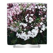 Beautiful Jasmine Flowers In Full Bloom Shower Curtain