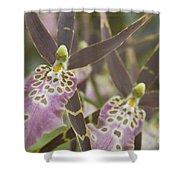 Beautiful Mtssa. Shelob 'tolkien' - Orchids - Mericlone  Shower Curtain by Sharon Mau