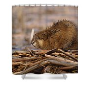 Beautiful Muskrat Shower Curtain by James Peterson