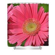Beautiful Pink Gerber Daisies Shower Curtain