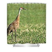 Beautiful Sandhill Crane Shower Curtain