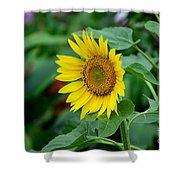 Beautiful Yellow Sunflower In Full Bloom Shower Curtain