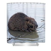Beaver Chewing On Twig Shower Curtain