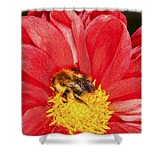 Bee On Red Dahlia Shower Curtain