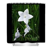Bellflower - Campanula Carpatica Shower Curtain