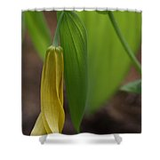 Bellwort Or Uvularia Grandiflora Shower Curtain