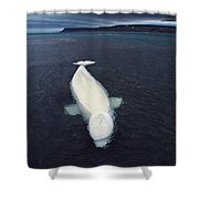 Beluga Whale Stranded At Low Tide Shower Curtain