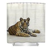 Bengal Tiger Cub On Road Bandhavgarh Np Shower Curtain