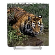 Bengal Tiger Drinking At Pond Endangered Species Wildlife Rescue Shower Curtain