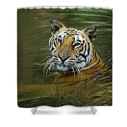 Bengal Tiger In Water Native To India Shower Curtain