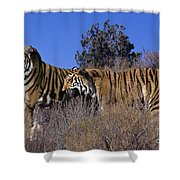 Bengal Tigers On A Grassy Hillside Endangered Species Wildlife Rescue Shower Curtain