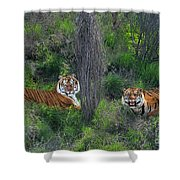 Bengal Tigers On Grassy Hillside Endangered Species Wildlife Rescue Shower Curtain