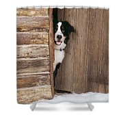 Bernese Mountain Dog At Log Cabin Door Shower Curtain