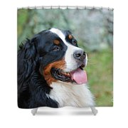 Bernese Mountain Dog Portrait Shower Curtain