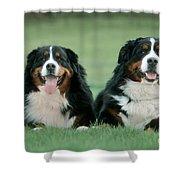 Bernese Mountain Dogs Shower Curtain