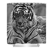 Big Cats 10 Shower Curtain