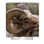 Big Horn Ram   #1503 Shower Curtain