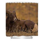 Big Horn Ram   #4452 Shower Curtain