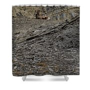 Big Horn Ram   #9264 Shower Curtain