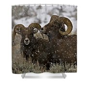 Big Horn Rams In The Snow   #2493 Shower Curtain