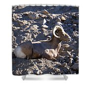 Big Horn Sheep Close Up Shower Curtain