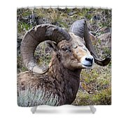Bighorn Battle Scars Shower Curtain