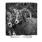 Bighorn Brothers In Grey Colorized Shower Curtain