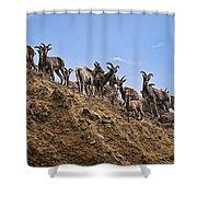 Bighorn Sheep At Blue Mesa Reservoir Shower Curtain