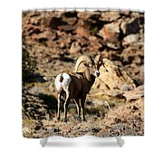Bighorn Stare Shower Curtain