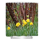 Birch And Daffiodils Shower Curtain