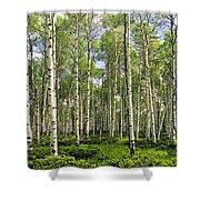 Birch Tree Grove In Summer Shower Curtain