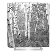 Birch Trees In A Forest, Acadia Shower Curtain